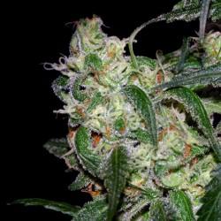 LA Cannolope variété de cannabis par DNA Genetics