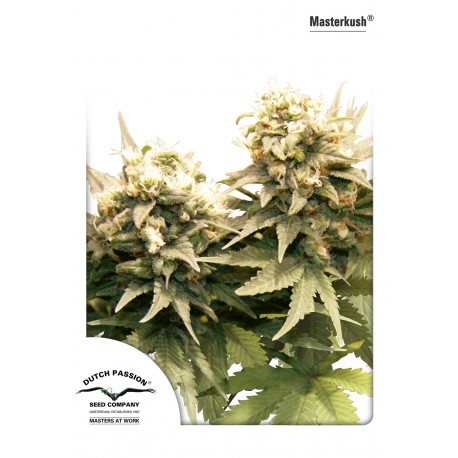 Graines de Masterkush de Dutch Passion