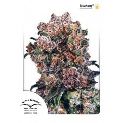 Blueberry - Dutch Passion