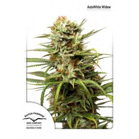 Graines de White Widow autofloraison par Dutch Passion
