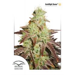 Graines de cannabis Auto Night Queen par Dutch Passion