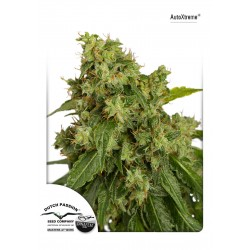 Auto Euforia - Dutch Passion