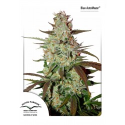 Graines de cannabis Blue Auto Mazar de Dutch Passion