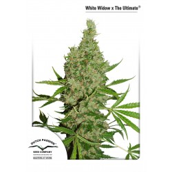 White Widow x The Ultimate Regular - Dutch Passion
