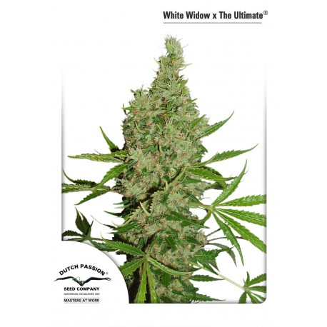 Graines régulières de White Widow x The Ultimate par Dutch Passion