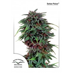 Durban Poison Regular - Dutch Passion