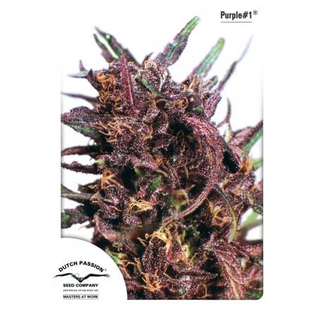 Purple N°1 Regular - Dutch Passion