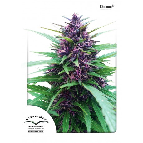 Shaman Regular - Dutch Passion