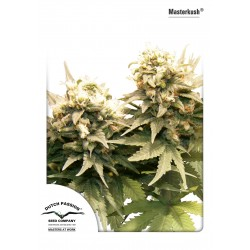Graines de Masterkush Regular par Dutch Passion