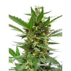White Widow Auto - Fanatik Seeds