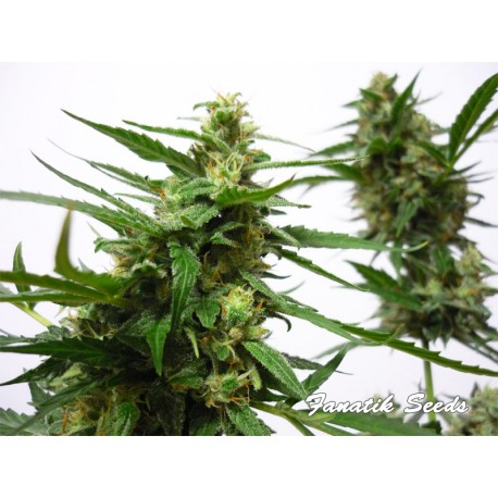 Big Bud Automatique ou autoflo de Fanatik Seeds