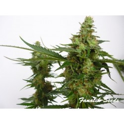 Critical - Fanatik Seeds