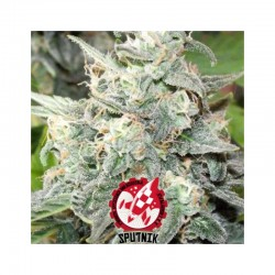 Black Domina Explosion - Sputnik Seeds